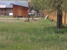 Mule deer roam the city and like to wonder through the property!
